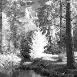 New Forest (Bolderwood) Infrared (3)