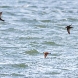 Swifts and a Sand Martin
