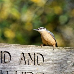 Nuthatch on Sign