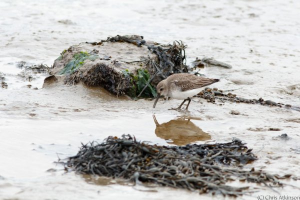 Dunlin and Reflection