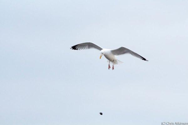 Herring Gull and Snail