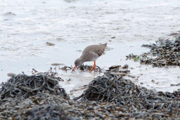 Redshank feeding