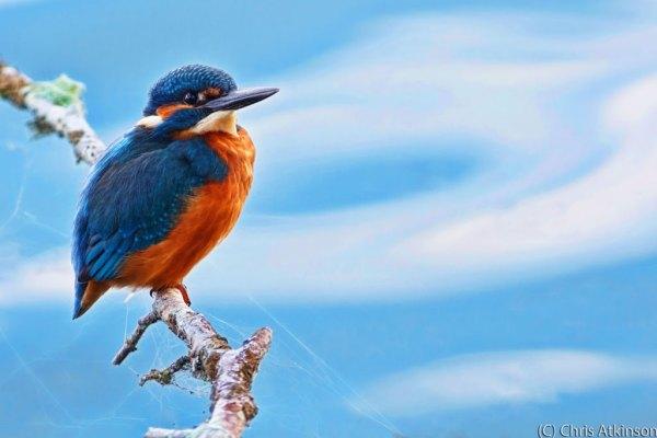 Kingfisher - Glow