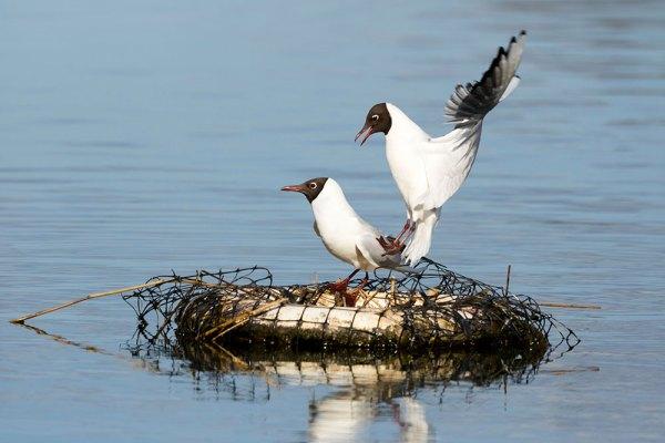 Black-headed Gull in Landing