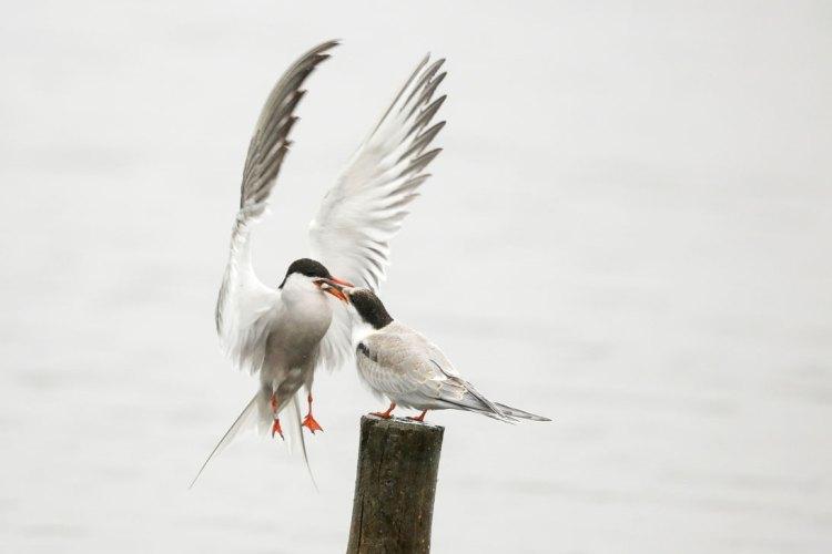 Tern Feeding Juvenille (3)