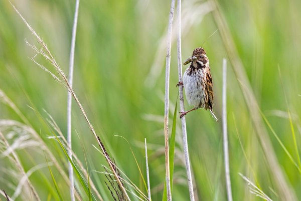 Male Reed Bunting with Grasshopper (1)