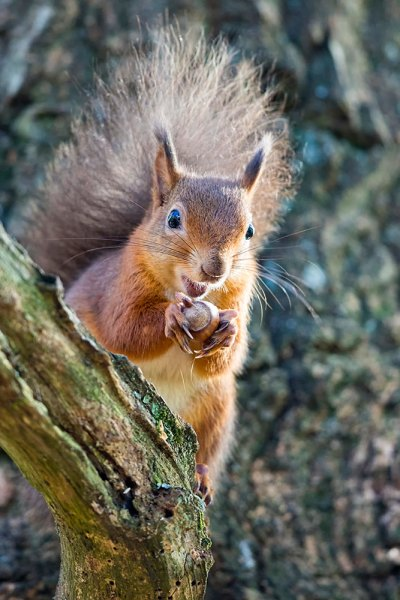 Red Squirrrel in a Tree with Nut