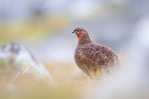 Red Grouse amid Rocks