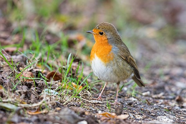 Robin on the Ground