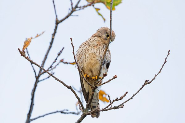 Kestral looking down
