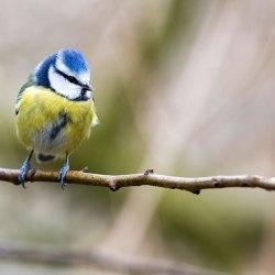 Blue Tit (2)