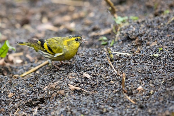 Siskin with Niger Seeds