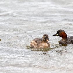 Adult and Juvenile Little Grebes