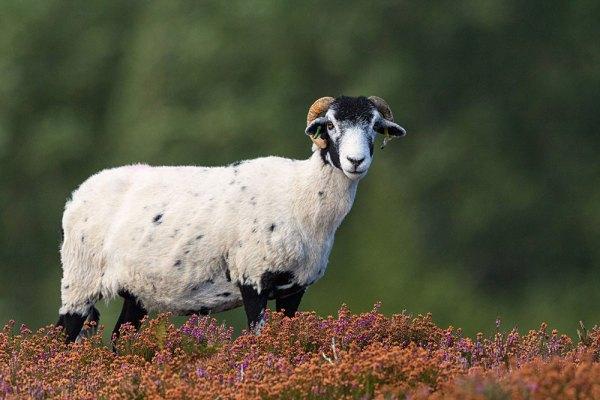 Ram on the Moor