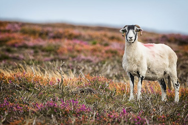 Sheep in the Heather