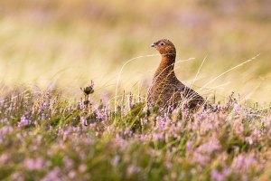 Westerdale Moors Wildlife