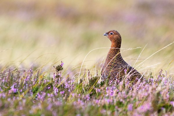 Red Grouse peering out from heather