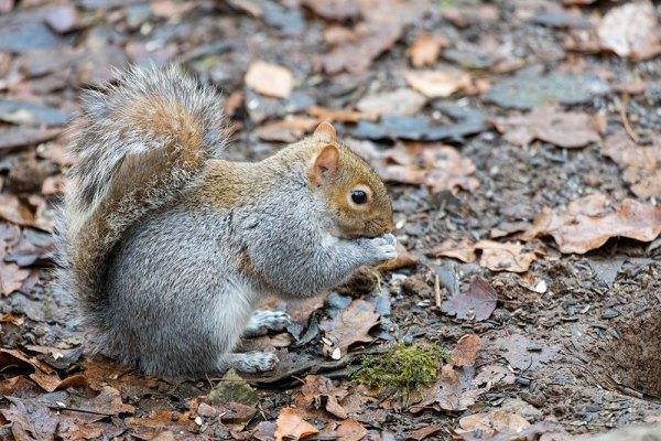 Grey Squirrel Eating