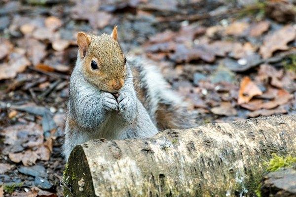Grey squirrel chomping on bird food