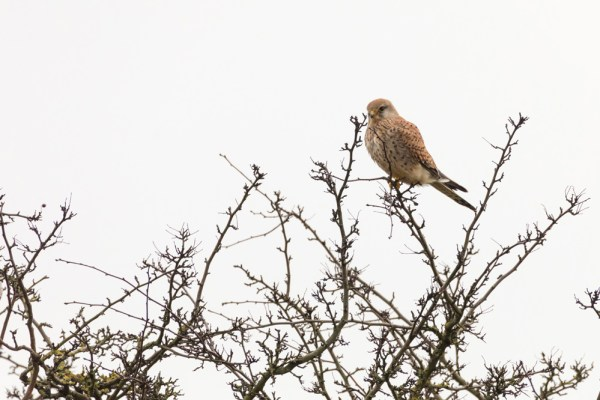 Kestral on tree