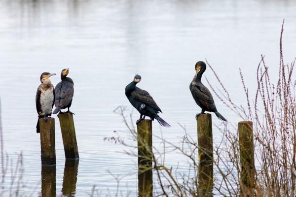 Cormorant spots the camera
