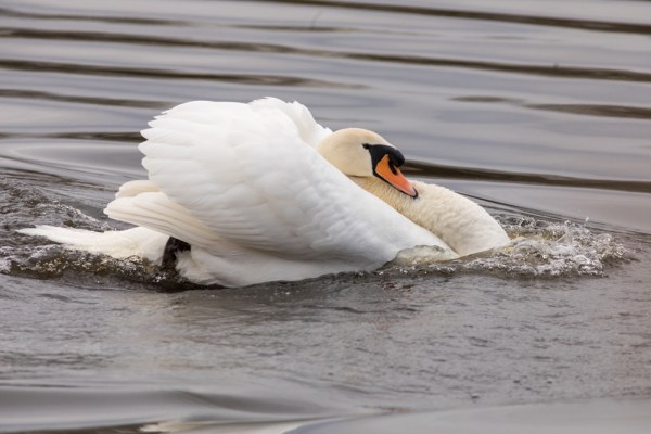 Male Swan in aggression mode