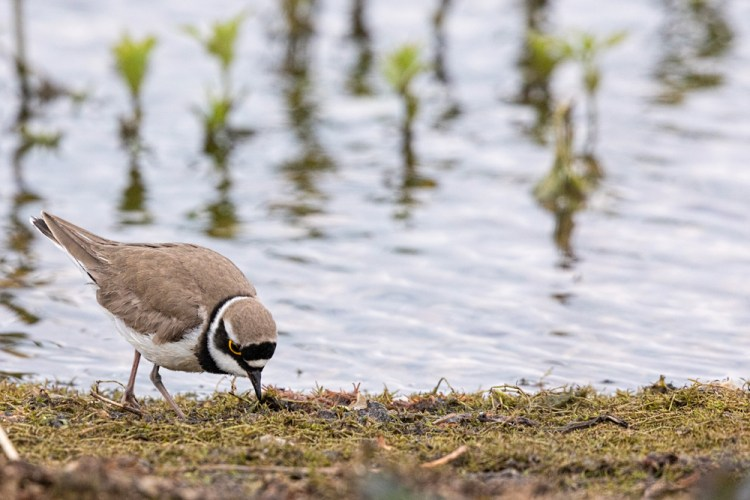Little Ringed Plover looking for food