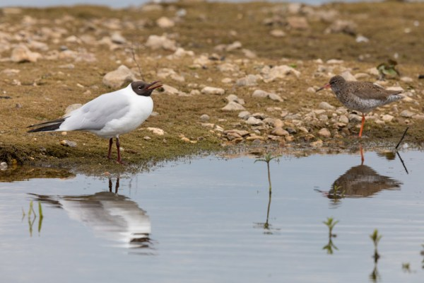 Calling Black-headed Gull and Redshank