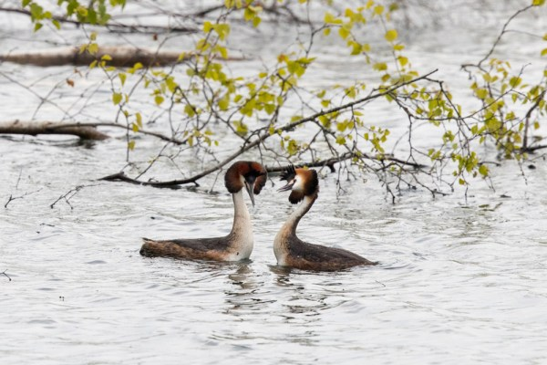 Great-crested Grebes courting