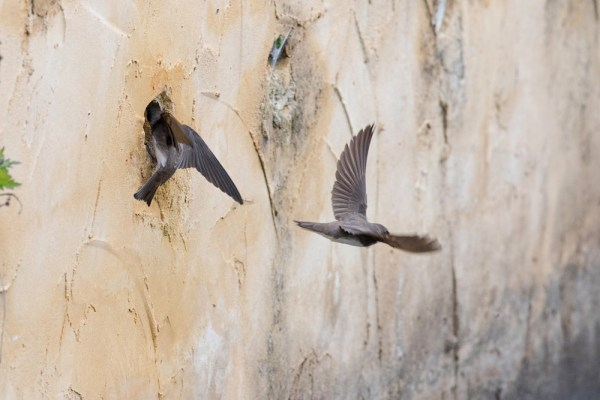 Sand Martins feeding and flying