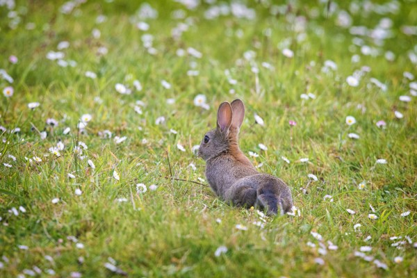 Baby bunny in the daisys