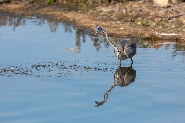 Heron with head at angle and reflection