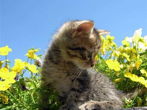 kucing-guntar