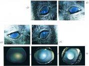 Les yeux de Yamka avant l'opération