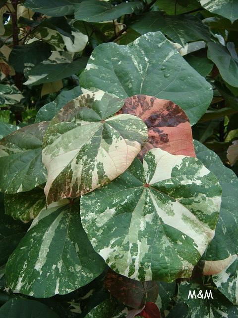 Hibiscus tilaceus
