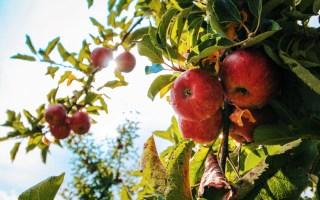 manger une pomme par jour