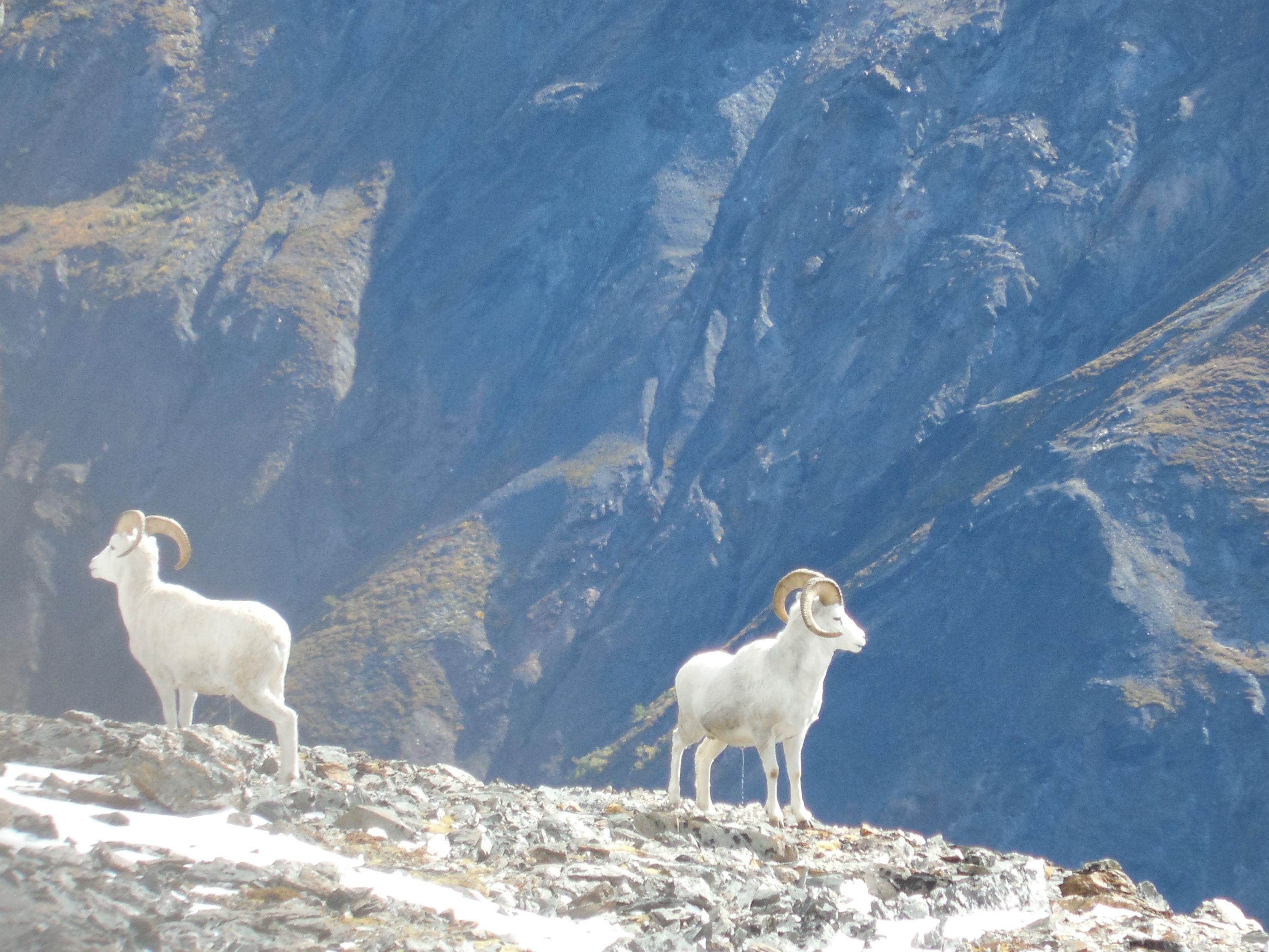 Alaska Range Dall Sheep  Rampage Alaska