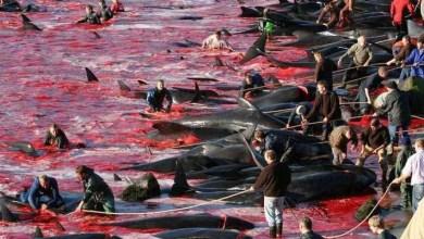 "Photo of بالفيديو .. كرنفال "" ذبح الدلافين "" يغرق الدنمارك ببحر من الدماء"