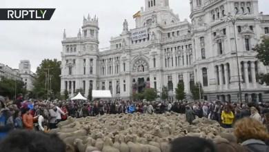 """Photo of إسبانيا : قطعان """" الأغنام """" تملأ شوارع مدريد في تقليد سنوي عمره 800 عام ( فيديو )"""