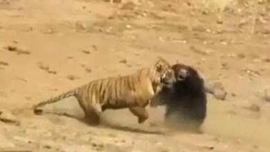 Photo of معركة شرسة بين نمر و دبة في الهند ( فيديو )