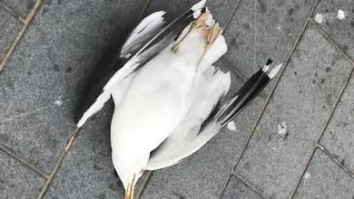 Photo of الشرطة البريطانية تبحث عن قاتل طائر سرق بطاطا مقلية