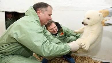 Photo of الإعلان عن جنس مولود الدب القطبي المهدد بالانقراض