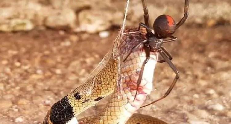 عنكبوت صغير يقتل إحدى أكثر الأفاعي سمية في العالم