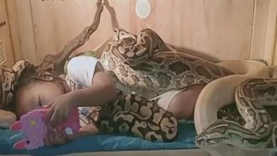 Photo of طفلة أندونيسية تشاهد التلفاز في أحضان ثعابين ضخمة ! ( فيديو )