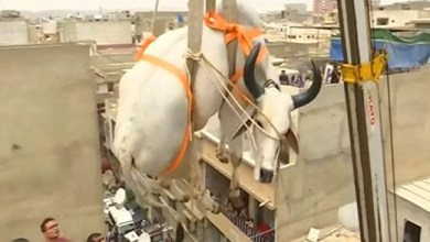 Photo of رافعة تنزل ثيراناً من سطح منزل في باكستان ( فيديو )