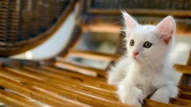 Photo of العلماء يستبعدون اندلاع وباء واسع النطاق بين القطط