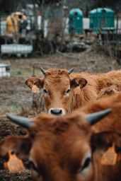 brown cow Aksharnaad Article Durgesh Oza