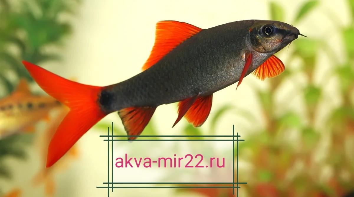 Рыбка Лабео зелёный с алыми плавниками на светлом фоне