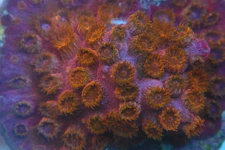 WWC Copperhead Cyphastrea