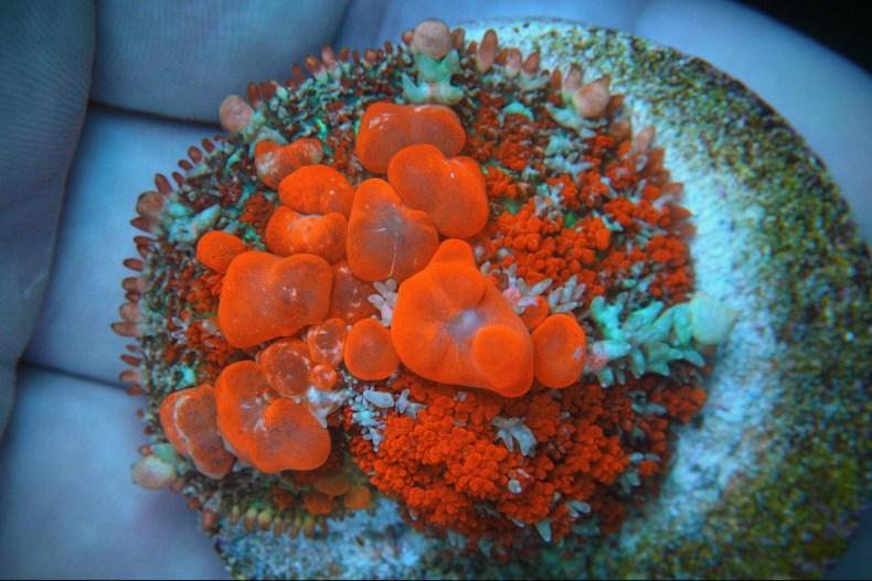 RAH Red Sunkist Bounce mushroom